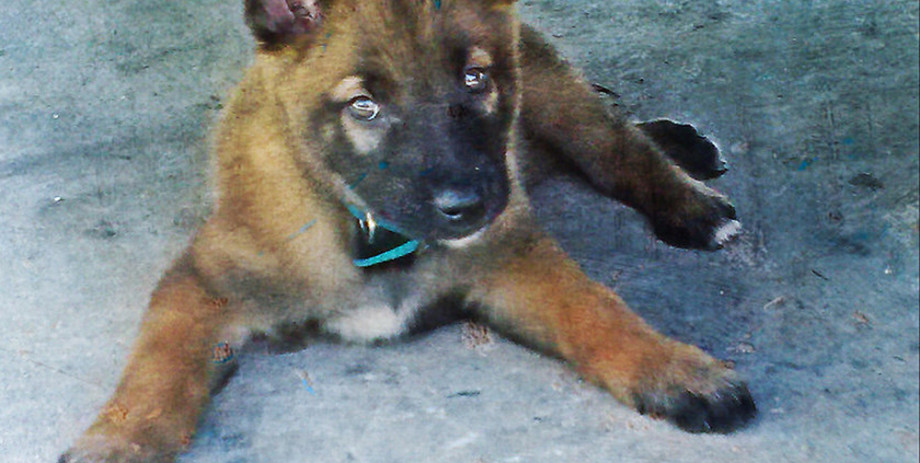 Puppy German Sheapard