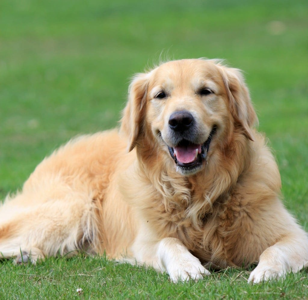 golden-retriever-dog-1364426710r9x