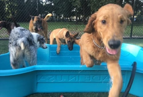 dogs jumping in and out of pool