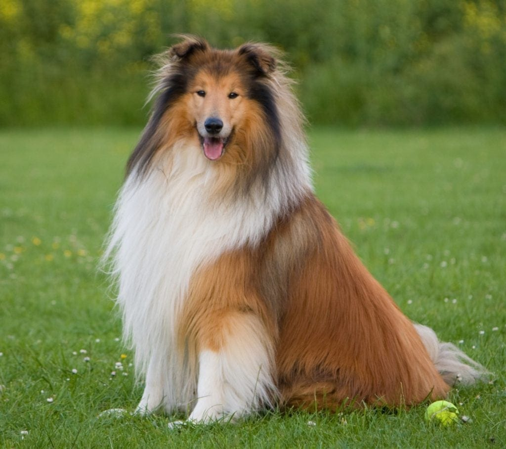 Collie dog on green lawn