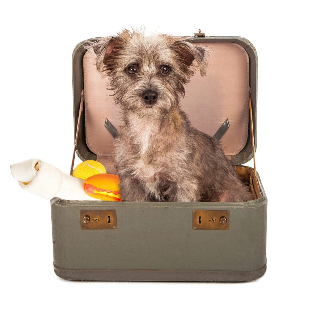 Terrier dog in a travel suitcase packed with bones and toys ready to go on a trip