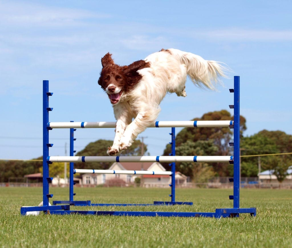 Spaniel competing in an agility competition