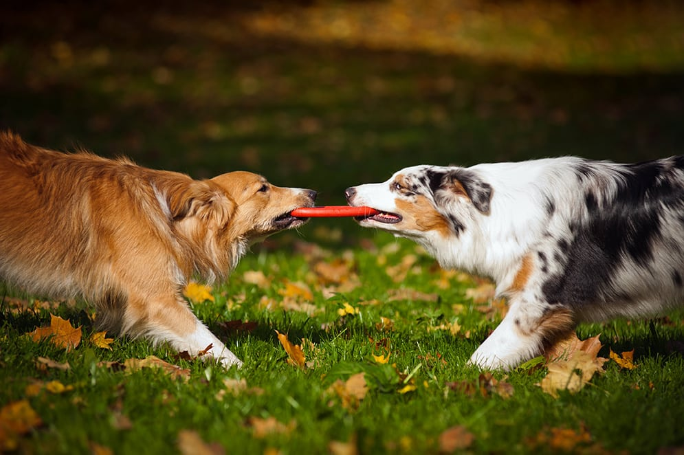 two dogs playing with a toy together in autumn