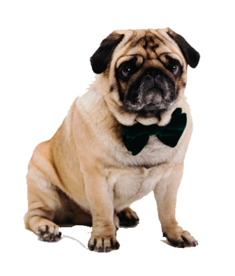 pug with ribbon