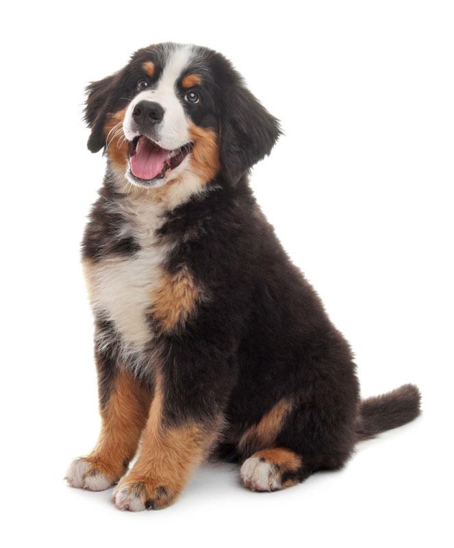 Adorable Bernese Mountain Dog puppy