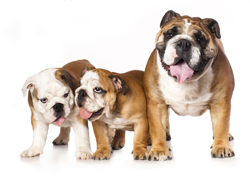 english-bulldog-father-and-puppy
