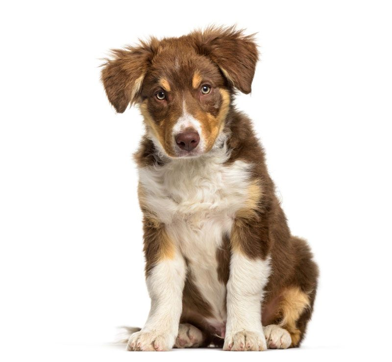 Border-Collie-puppy
