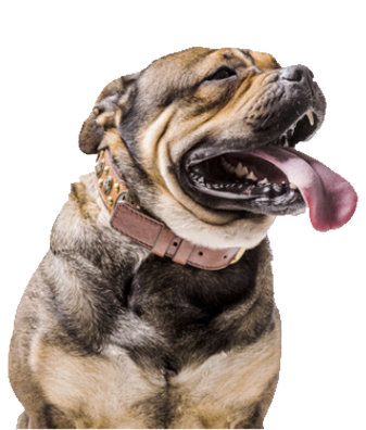 happy american bulldog