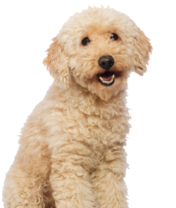 cute poodle looking at camera