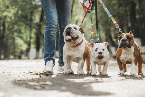 three bulldogs on leash with their owner