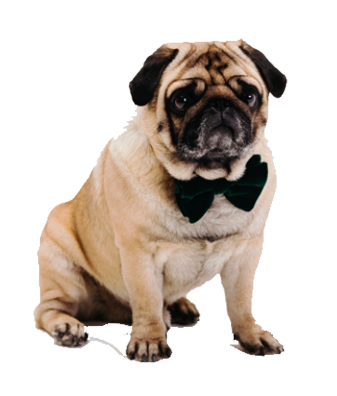pug with ribbon