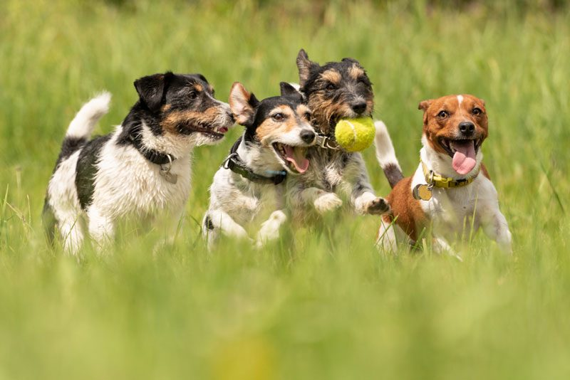 a cute pack of Jack Russell Terriers